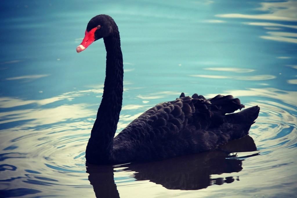 swan-782793_1920